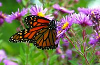 Monarch_butterfly_-_Butterfly_Place_in_Westford,_Massachusetts_(2)